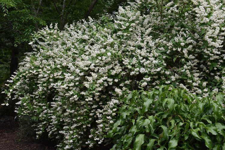 Deutzia gracilis 'Variegata' (variegated deutzia)