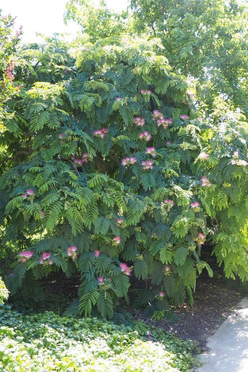 Albizia julibrissin 'Ishii Weeping' (weeping mimosa)