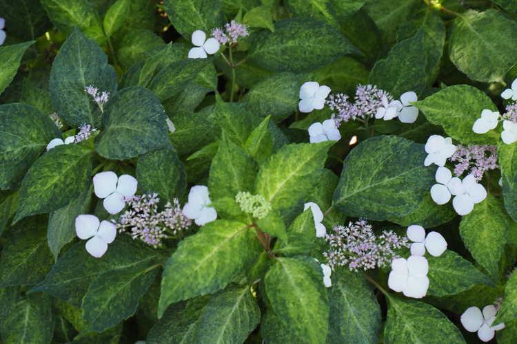 Hydrangea serrata [Amacha Group] 'Ô Amacha Nishiki' (variegated mountain hydrangea)
