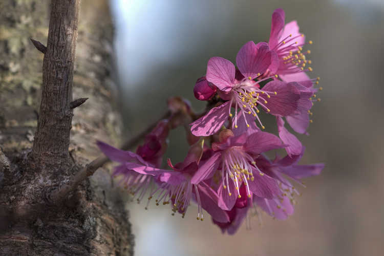 Prunus 'First Lady' (hybrid flowering cherry)