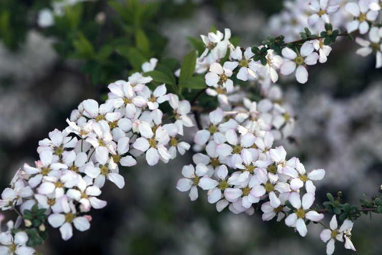Spiraea thunbergii 'Fujino Pink' (apple-blossom Thunberg spirea)