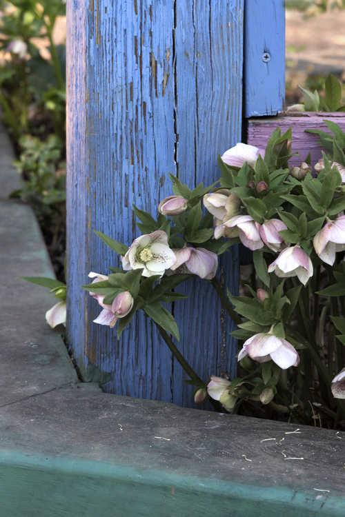 Helleborus ×hybridus (Lenten rose)