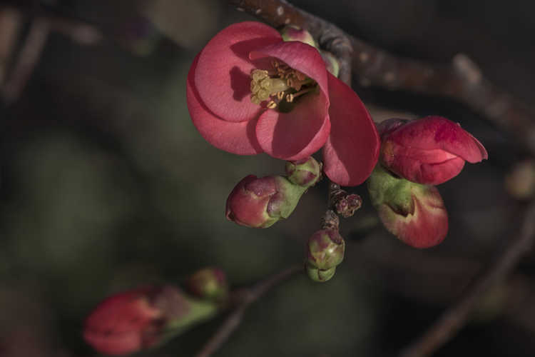 Chaenomeles 'Scarff's Red' (hybrid flowering quince)