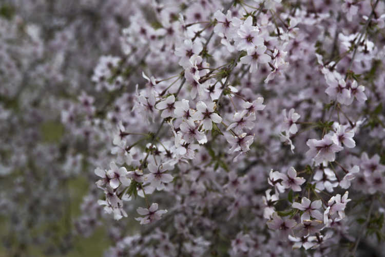 Prunus incisa 'Pendula' (weeping Fuji cherry)