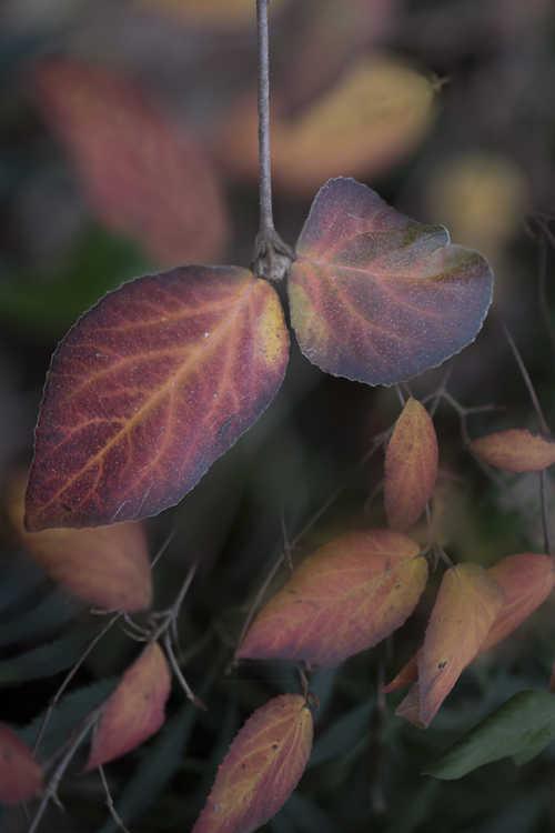 Viburnum ×burkwoodii 'Mohawk' (Egolf hybrid Burkwood viburnum)