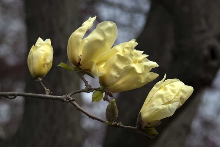 Magnolia 'Elizabeth' (yellow magnolia)