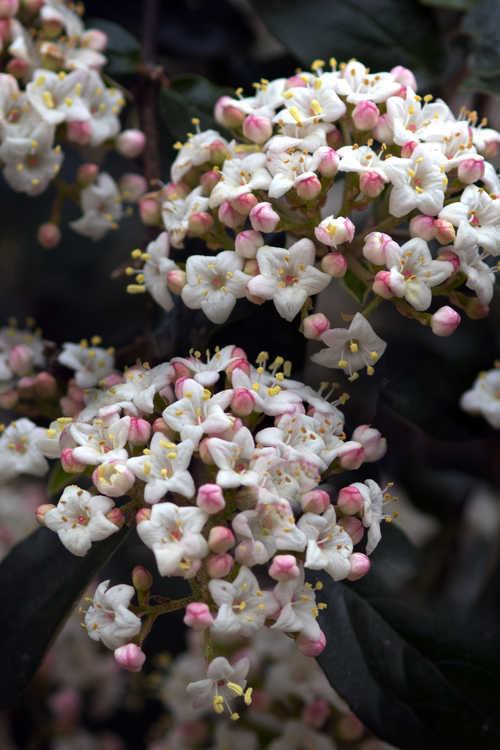 Viburnum ×burkwoodii 'Conoy' (Egolf hybrid viburnum)