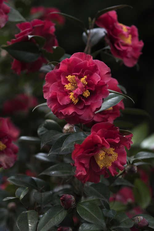 Camellia japonica 'Dr. J.C. Raulston' (Japanese Camellia)