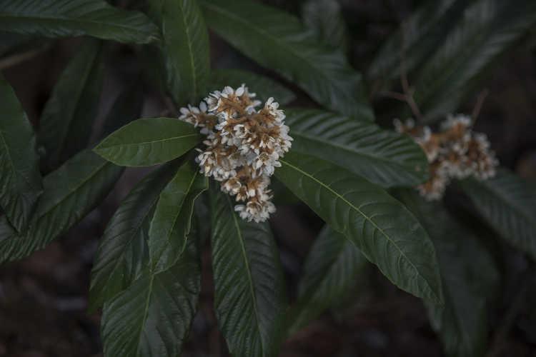 Eriobotrya japonica 'Coppertone' (loquat)