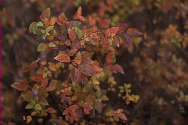 Spiraea japonica 'Mertyann' (Dakota Goldcharm Japanese spirea)