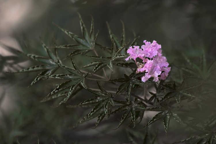 Acer palmatum 'Okushimo' (tube-leaf Japanese maple)