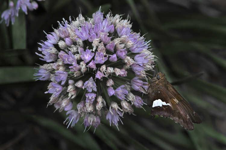 Allium 'Millennium' (ornamental onion)