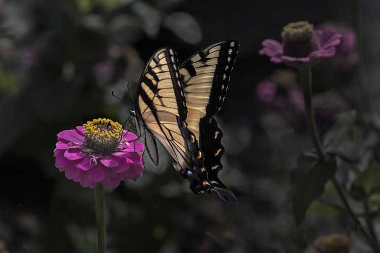 Zinnia - swallowtail butterfly