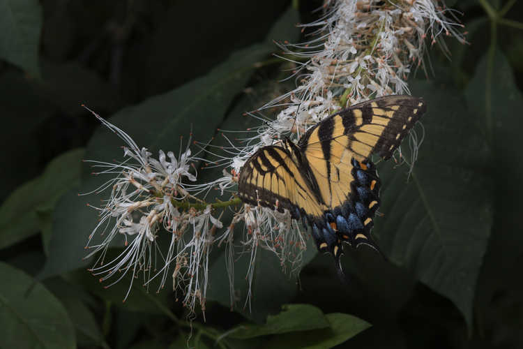 Aesculus parviflora f. serotina (late bottlebrush buckeye) - swallowtail butterfly