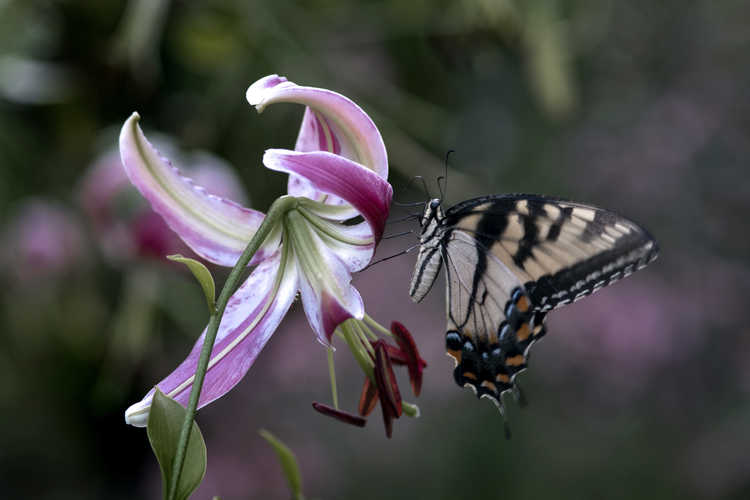 Lilium 'Black Beauty' (oriental lily) - swallowtail butterfly