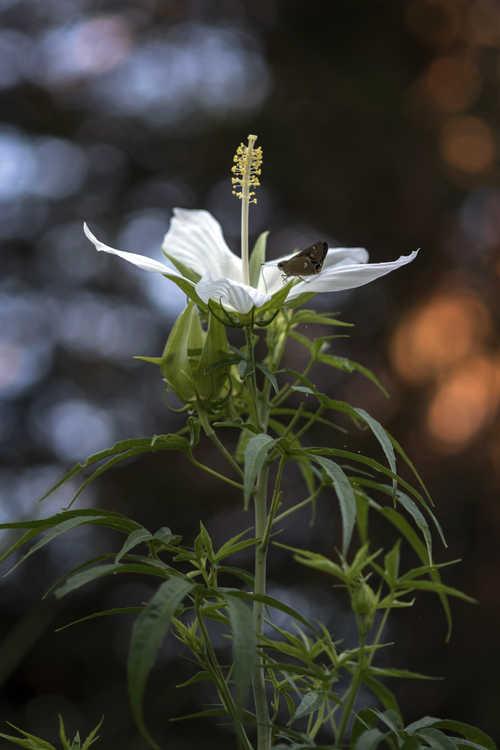 Hibiscus coccineus f. albus (white scarlet mallow)