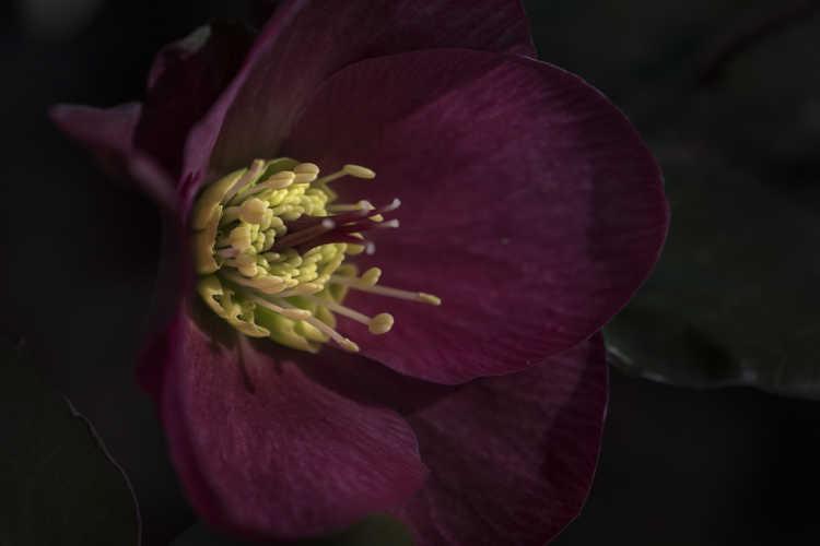 Helleborus 'Anna's Red' (Lenten rose)