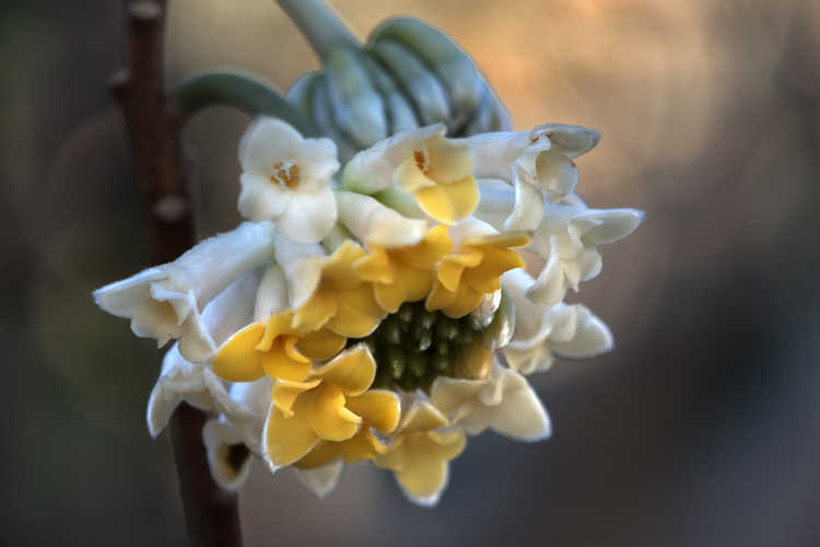 Edgeworthia 'Snow Globe' (hybrid Japanese paperbush)