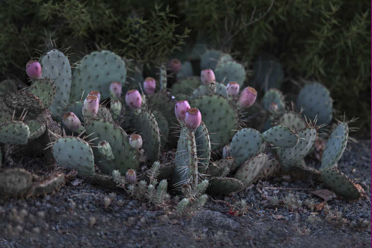 Opuntia polyacantha f. rosaeflora (Plains prickly-pear )