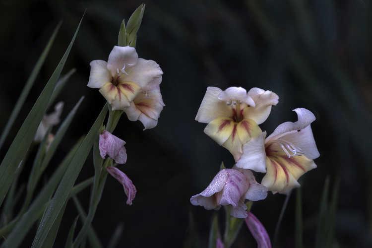 Gladiolus nanus 'Halley'