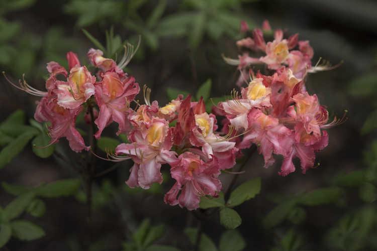 Rhododendron 'Southern Sunset' (Aromi hybrid azalea)