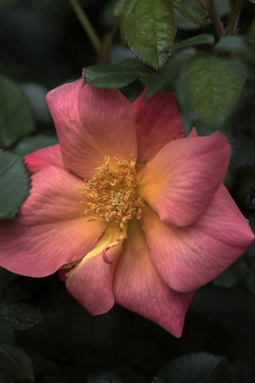 Rosa 'Bairage' (Easy Elegance All the Rage shrub rose)