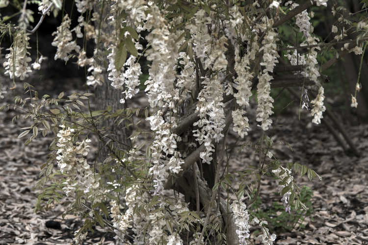 Wisteria sinensis 'Jako' (white-flowered Chinese wisteria)