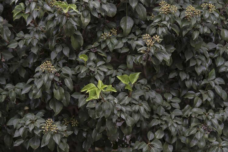 Hedera rhombea 'Korean Dwarf' (Japanese ivy)