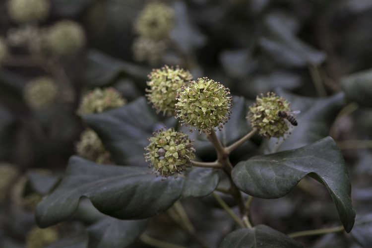 Hedera colchica (adult form) (Colchis ivy)