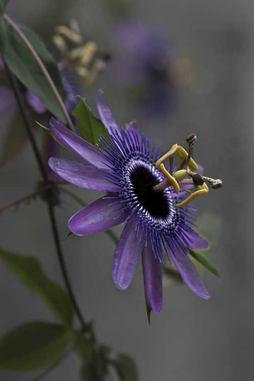 Passiflora 'Monika Fischer' (hybrid passion flower)