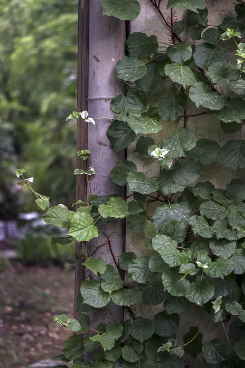 Hydrangea anomala subsp. petiolaris 'Early Light' (climbing hydrangea)