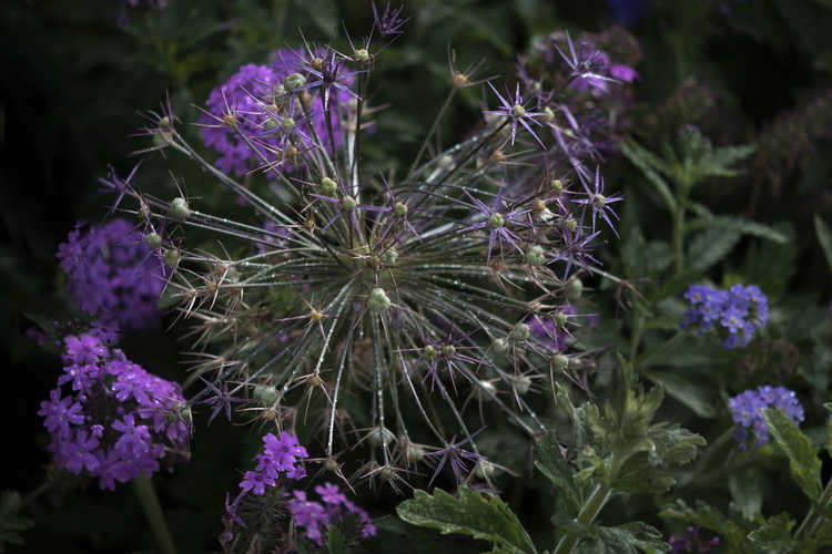 Allium christophii (star of Persia) and Glandularia canadensis (verbena) and Heliotropium amplexicaule (clasping heliotrope)