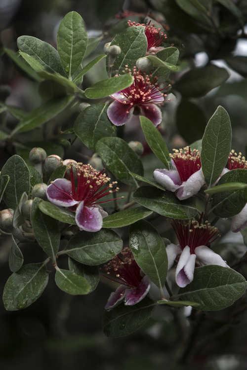 Acca sellowiana 'NCSU Hardy' (pineapple guava)