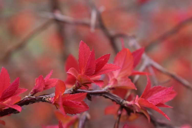 Spiraea japonica 'Ncsx1' (Double Play Candy Corn Japanese spirea)