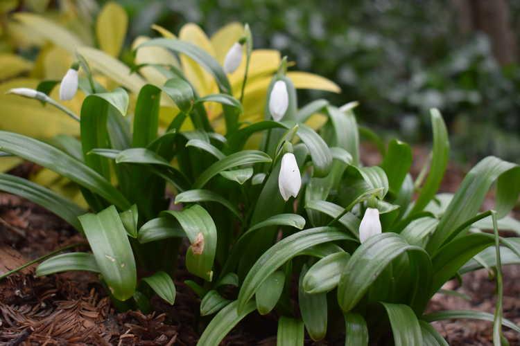 Galanthus woronowii (giant snowdrop)
