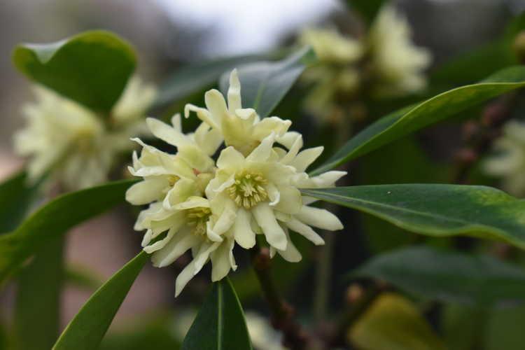 Illicium anisatum (star anise)
