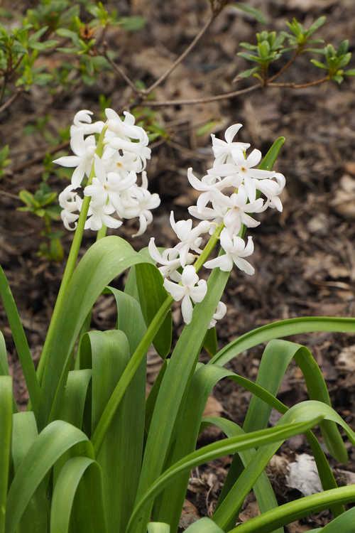 Hyacinthus orientalis 'White Festival' (common hyacinth)