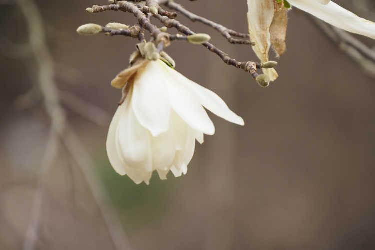 Magnolia stellata 'Scented Silver' (star magnolia)