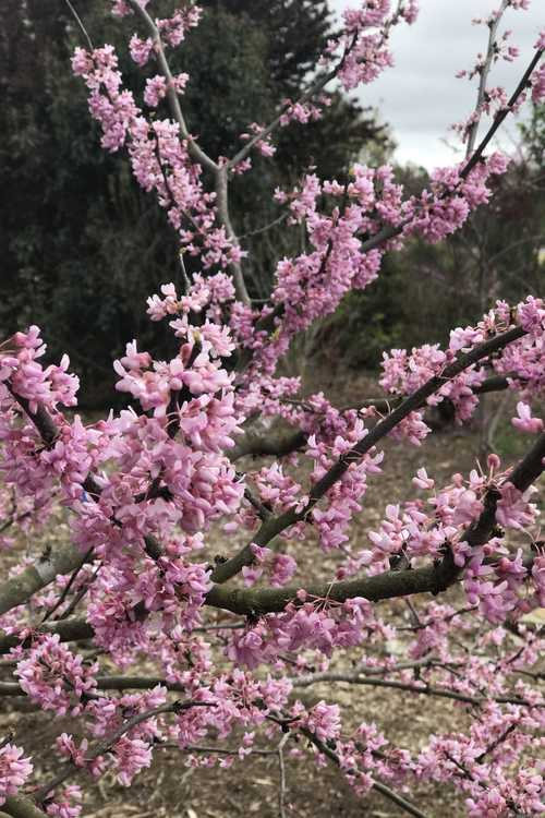 Cercis canadensis 'Alley Cat' (variegated redbud)