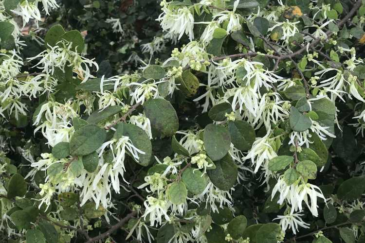 Loropetalum chinense 'Shang-White' (Emerald Snow dwarf Chinese fringe-flower)