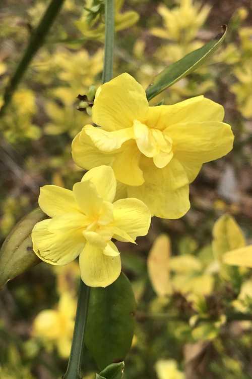 Jasminum mesnyi 'Gold Tip' (variegated primrose jasmine)
