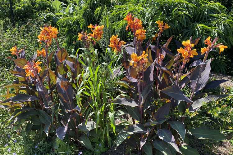 Canna 'Pacific Beauty' (canna-lily)