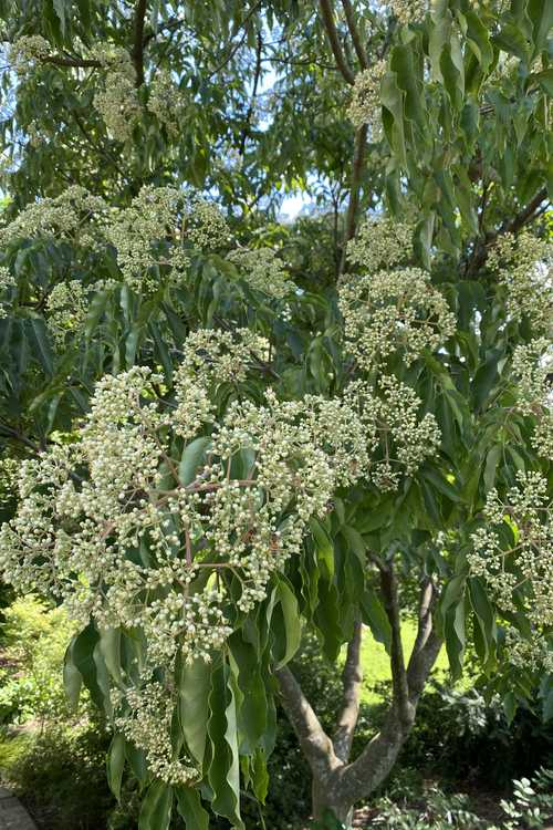 Tetradium glabrifolium (smooth bee bee tree)