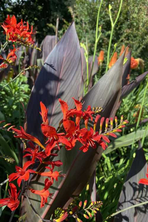 Canna (canna-lily) and Crocosmia 'Lucifer' (crocosmia)