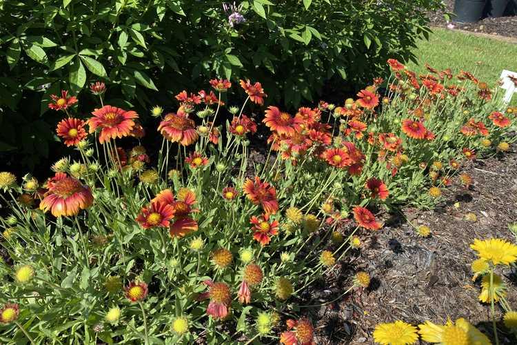 Gaillardia 'G15272' (Heat it up Scarlet blanket flower)