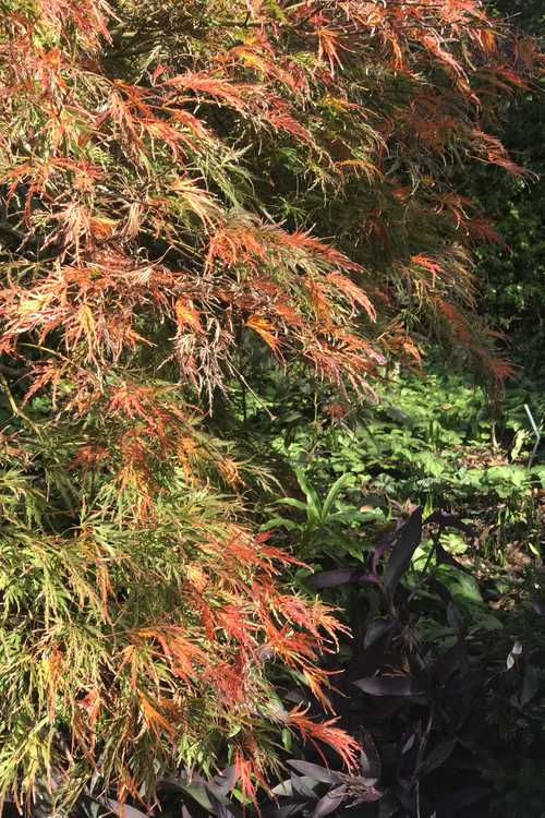 Acer palmatum 'Waterfall' (green lace-leaf Japanese maple)