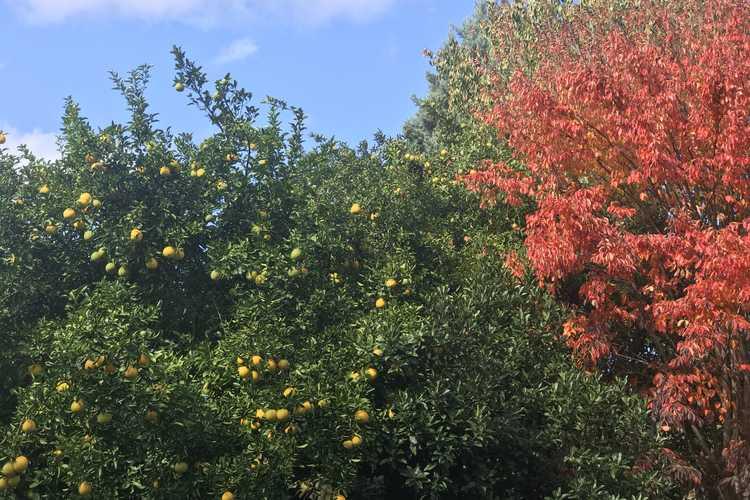 Parrotia subaequalis (Chinese ironwood) and Poncirus trifoliata × Citrus paradisi 'Dunstan' (citrumelo)