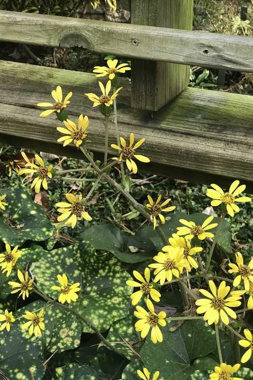 Farfugium japonicum 'Aureomaculatum' (leopard plant)