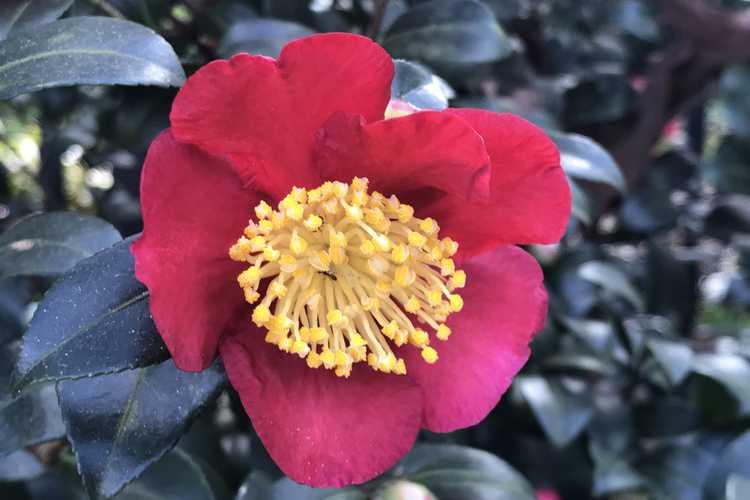 Camellia sasanqua 'Yuletide' (sasanqua camellia)