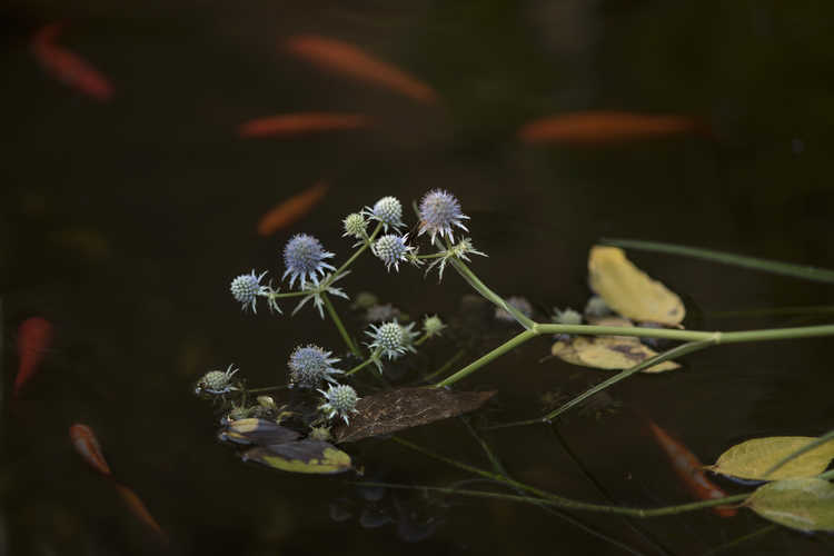 Eryngium aquaticum var. ravenellii (rattlesnake master)